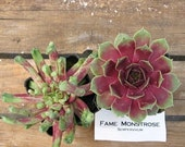Sempervivum FAME MONTROSE, Hens and Chicks Hardy potted Succulent