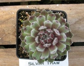 Silver Thaw Sempervivum - HENS AND CHICKS, Potted Succulent plant that is Winter Hardy