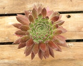 Aphrodite Sempervivum Plant, Hens and Chicks, Extremely Cold Hardy Succulent