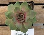 Sommerwise Sempervivum Plant, Indoor or outdoor Succulent Plant