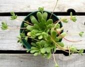 Rosularia sedoides Potted Succulent Plant