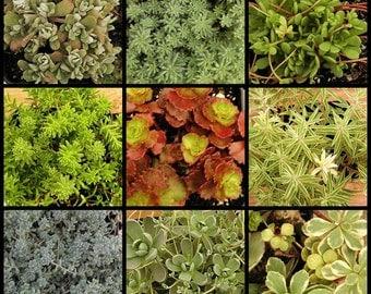 Winter Hardy Succulent Sedum Plants, 3 inch pots,  Great Gift Favors, Terrariums, Tablescapes, old boots, dish gardens