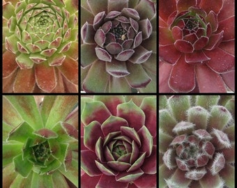 "6 pack - Sempervivum Collection, Hens and Chick Plants, 2"" ready for terrarium, Tablescapes, centerpieces, old boots and more"
