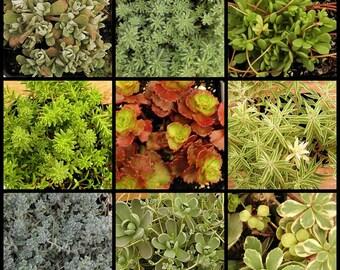 Sedum Succulent Collection, Winter Hardy TO -10, FAVORS, Terrariums, hanging baskets.