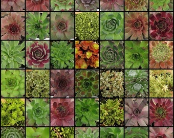 Succulent Plants, 50 Count --- Sempervivums, Sedums, Hens and Chicks, Stonecrops