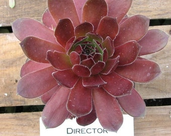 Director Jacobs Sempervivum, Hen's and Chick Cold Hardy
