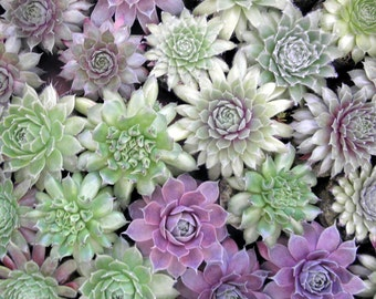 36 Succulent Plants A Colorful Cold Hardy Collection in Earth Friendly pots