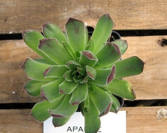 APACHE Succulent Plant, Jovibarba heuffelii , Hen's and Chick Cold Hardy