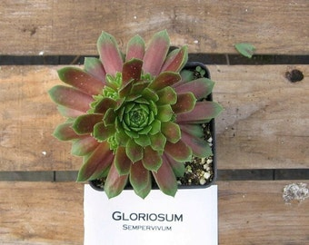 Gloriosum Sempervivum Plant, Hens and Chicks, Extremely Cold Hardy Succulent