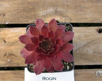 Rogin Sempervivum Plant, Indoor or outdoor Succulent Plant