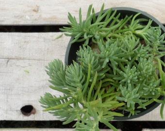 Blue Spruce Stonecrop, Sedum reflexum 'Blue Spruce'