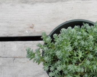 Boris Stonecrop,   Sedum borissova Potted Plant