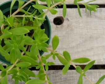 Graveyard Moss Stonecrop, Sedum sarmentosum Potted Plant