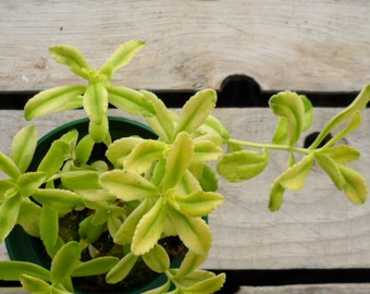 Sweet and Sour Stonecrop, Potted Succulent Plant