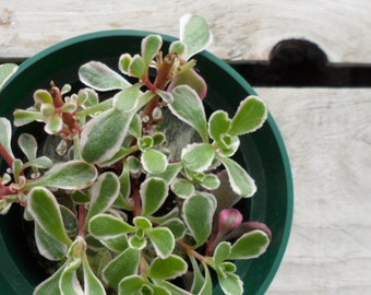 Sedum kamtschaticum variegatum,  Variegated Russian Stonecrop, Potted Succulent Plant