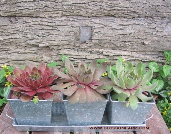 Succulent Garden Table Top Planter By SoSucculent On Etsy