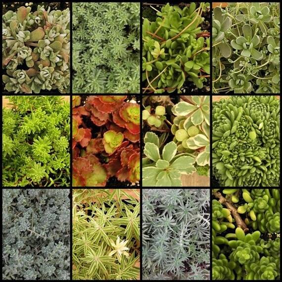 Stonecrops ROCK, Twelve Pack, 2 inch Enviro-pot, Succulent Sedum Plants, Great Gift Favors, Terrariums, garden baskets, ground cover