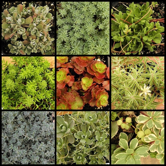 Sedum Succulent Collection, Winter Hardy TO -10, FAVORS, Terrariums, hanging baskets.