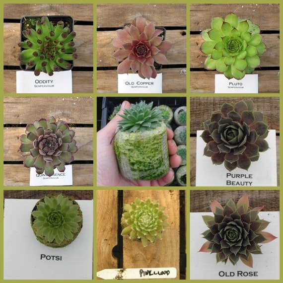 8 Hens and Chicks In this Succulent Sempervivum Potted Plant Collection No.Five