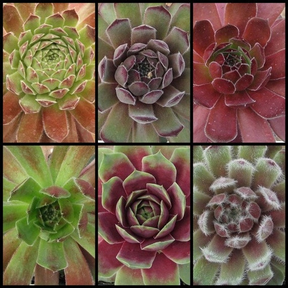6 pack Gaggle of Hens and Chick Plants,  Cold Hardy, Sempervivum