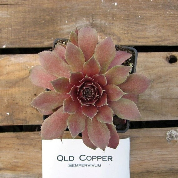 Old Copper Sempervivum Plant, Indoor or outdoor Succulent Plant