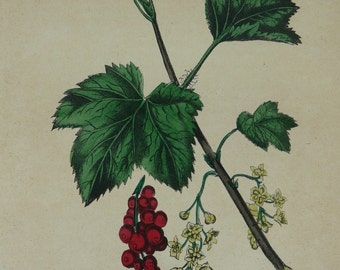 Antique Botanical Print - Red Currant