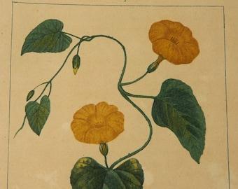 Antique French Botanical Engraving - Jalap