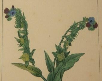 Antique French Botanical Engraving - Houndstongue