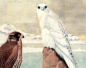 antique 1936 white falcon birds color plate illustration Louis Agassiz Fuertes