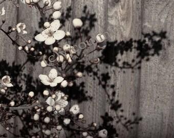 Sepia Cherry Blossoms - 12 x 18 print
