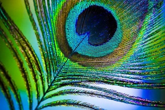 Beautiful and colorful peacock feather - Beautiful peacock feather ...
