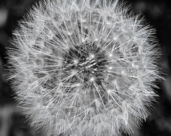 Soffione lll - Dandelion Seed Head in Monochrome - Signed Limited Edition Square Fine Art Photograph - Various Sizes and Finishes Available