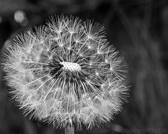 Dandelion Seed Head in Monochrome - Limited Edition Fine Art Photo Print - Gallery Quality Wall Art, Various Sizes and Mounting Options