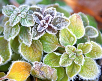 "nature flowers leaf leaves cold ""First Frost"" - 8x10 photo"