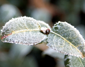 "leaf leaves green nature frost cold ""Frigid Morning"" - 8x10 photograph"