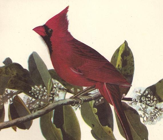 Audubon Bird Print Reproduction, 9 x 12, Wonderfully Yellowed with Age, Cardinal