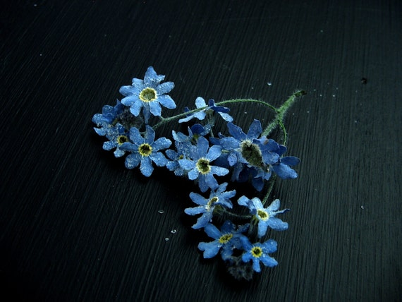 Dried Blue Forget Me Not Flowers