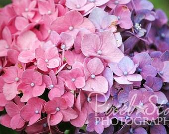 Pink and Purple Hydrangea - 5x7 Photograph