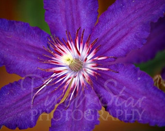 Purple Clematis - 5x7 Photograph