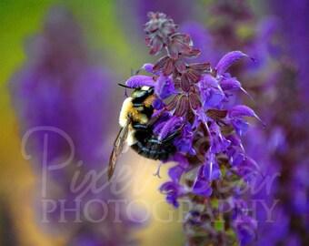 Bee on May Night Salvia - 5x7 Photograph