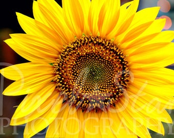 Sunflower - 5x7 Photograph