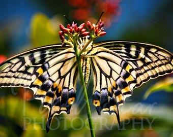Swallowtail Butterfly - 5x7 Photograph