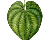 Heart-Shaped Leaf- Gouache Botanical Painting Original 7 x 9