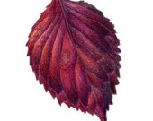 Crimson Red Leaf- Botanical Art Original 5 x7 Colored Pencil