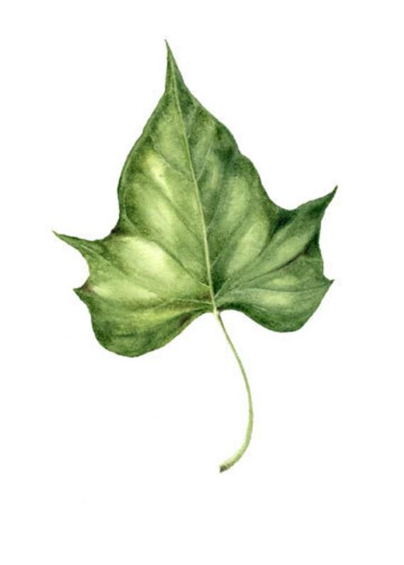 Items Similar To Potato Vine Botanical Art Watercolor