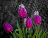 Spring Rain and Tulips