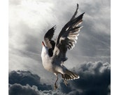 Icarus, Bird Photography, Animal Photography, Nature Photography, Seagull Art, Bird Art, Heermann's Gull, 5 x 5
