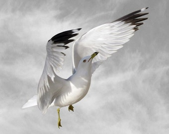 Animal Photography, Bird Photography Print, Seagull, Fine Art Photography, Climb