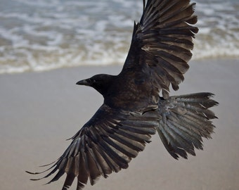 Crow, Nature Photography, Animal Photography, Bird Art Print Photography, Fine Art Photography, Crow at the Beach
