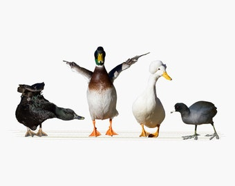 Animal Photography, Duck and Coot Photography Art Print, Home Decor, Fine Art Photography, Usual Suspects